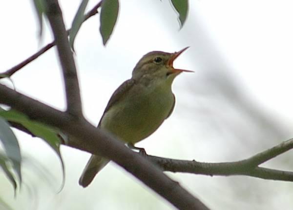 Пересмешка-бормотушка (Малиновка)